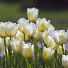 "Tulip Bulbs ""Angels Wish"",12/+cm,Late Spring,Fall Planting , Now Shipping !"