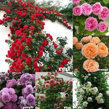 100Pcs CLIMBING ROSE Rosa Bush Vine Climber Fragrant Butterfly Flower Seeds