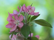 Beautiful Pink Spring Flowers Matted Picture Art Print Home Decor A460