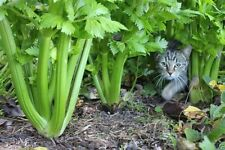 Celery Plant Seeds,Open Pollinated,Heirloom,Organically Grown Vegetable/ Seeds !