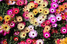 Livingstone Daisy/Ice Plant (30+, 100+ or 150+ Seeds) ***SHIPS FAST***