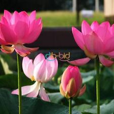 High Quality Colorful Garden Fresh Green Lotus / Peony Seeds Planted