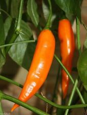 Aji Amarillo-Peruvian Yellow Chile Pepper-Fresh,Roasted,dried,Sauces,Paste,Salsa