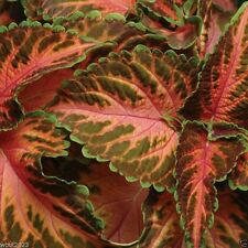 Coleus Wizard ,Coral Sunrise -  Very Showy,Easy To Grow, Shade Loving Plant !