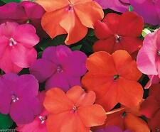 Impatiens Seeds - XTREME TANGO MIX- ideal for Baskets,Containers & window boxes