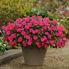 Impatiens Seeds - Impreza Rose - ideal for Baskets,Containers & window boxes