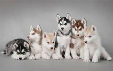 CUTE SIBERIAN HUSKY PUPPIES GLOSSY POSTER PICTURE PHOTO cool fun puppy dogs 2113