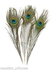 "Genuine Natural Peacock Feathers USA SELLER Beautiful ""EYES"" FREE SHIPPING"