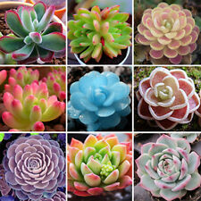 30pc Rare Succulent Multicapacity Process Organic Bulk Seed Hot Plants Seeds
