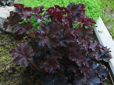 Coral Bells Plant Seeds,Heuchera Palace Purple ,Perennial, Zone: 4-9