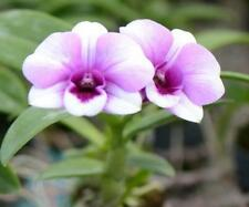 ORCHID - Dendrobium Little Princess 'Blush'- MINIATURE GROWER, PROLIFIC BLOOMING