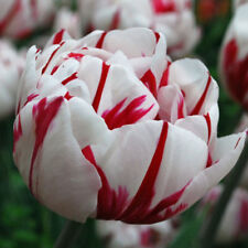 "Tulip Double Late ""Carnaval De Nice""RHS Award of Garden Merit,fall Planting Bulb"