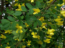 Siberian Pea Tree, Caragana arborescens, Seeds (Hardy, Fragrant, Hedge)