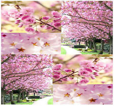 BULK JAPANESE SAKURA FLOWERING CHERRY Tree Seeds Prunus serrulata Cherry Blossom