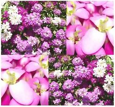 BULK ~ Iberis umbellata CANDYTUFT TALL MIX Flower Seeds ~ Showy Flowers Borders