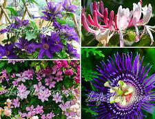 Popular Climbing Plant Climber Selection in pot Clematis Passiflora Honey Suckle