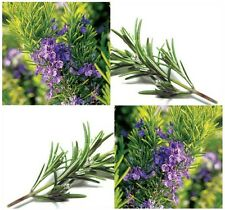 ROSEMARY Seeds - ALL PURPOSE SEASONING FOR MEAT & SAUCES ~ Perennial Herb Seed -