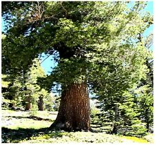 Western White Pine - Pinus monticola Tree Seeds - CAN GROW IN POOR SOILS - Z. 6+