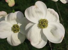 White Flowering Dogwood, Cornus florida, Tree Seeds (Showy Flowers, Fall Color)