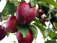 Red Delicious Apple, Malus pumila, Tree Seeds (Hardy, Fast)