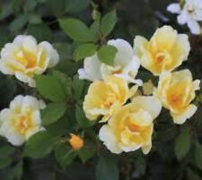 Popcorn Drift Yellow Groundcover Rose plants ( 1.5 gallon )