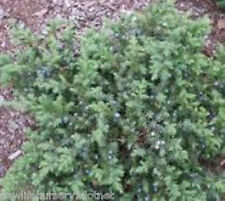 Blue Pacific Spreading Juniper ( groundcover plants )