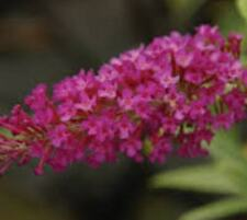 "BUZZ Magenta ( Dwarf ) Butterfly Bush plants ( 4"" pots )"