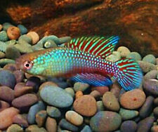 Brazilian Jewell Killifish eggs beginner fish breeding killi fish