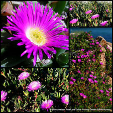 100 Succulent Pink Pigface Cuttings Carpobrotus rossii Native Plants Pig Face