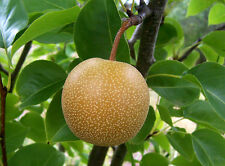 Asian Pear, (Chinese Sand Pear), Pyrus pyrifolia, Tree Seeds (Edible, Fast)
