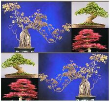 Trident Maple Tree Seed -Acer buergerianum Seeds-Green Yellow Red Foilage
