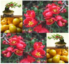 Japanese Flowering Quince, Chaenomeles japonica, Tree Seeds (Hardy, Fragrant)