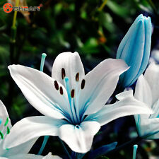 Specials Blue Heart Lily Plant Seeds Potted Bonsai Plant Lily Flower Seeds