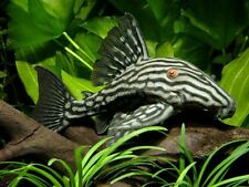 L-190 Royal Pleco Fish 2""