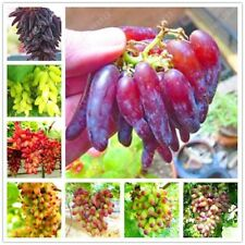 50 seeds/pack Very Rare finger grape seeds Advanced organic fruit seeds sweet &