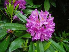 Rosebay Rhododendron, Rhododendron maximum, Seeds
