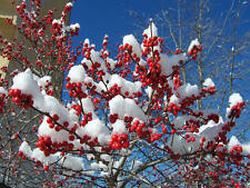 Winterberry Holly, Ilex verticillata, Shrub Seeds (Hardy, Showy)
