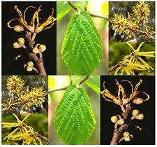 BULK Witch Hazel Hamamelis virginiana WITCHHAZEL Fragrant bloom ~Hardy to Zone 4