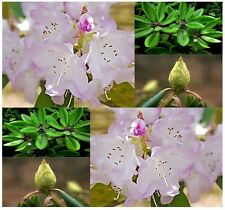 BULK  x  Fortune's Rhododendron FLOWER SEEDS - Rhododendron fortunei - ZONES 6-9