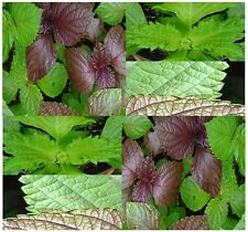 GREEN SHISO PERILLA Seeds - BEEFSTEAK PLANT BRITTON SEED - Purple Mint - 80 - 85