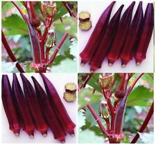 ORGANIC RED BURGUNDY Okra seeds ~ TURNS GREEN WHEN COOKED ~ Ornamental - 60 DAYS