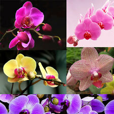 Hot Rare 20Pcs Phalaenopsis Flower Seeds Butterfly Orchid Home Decoration