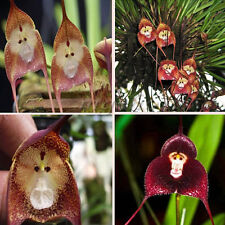 10/20/30PCS Monkey Face Orchid Flower Seeds Plant Seed Bonsai Home Garden New