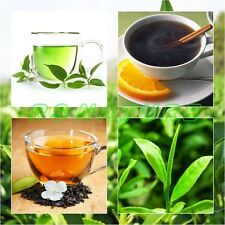 Tea Seeds, Tea Plant seed Camellia sinensis,Bulk Shrub Tea Seeds NEW NOV. 2014