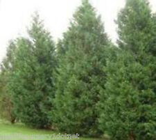 Leyland Cypress Trees - Privacy Screen ( 1 gallon )