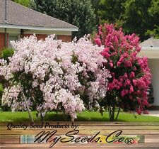 CRAPE MYRTLE Tree MIX Seeds - BLOOM 120 DAYS - Lagerstroemia indica - GORGEOUS