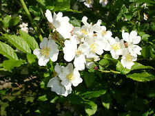 White Rugosa Rose, Rosa rugosa albiflora, Shrub Seeds (Fast, Fragrant, Edible)