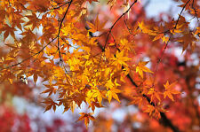 Painted Maple,  Acer truncatum mono (Acer pictum), Tree Seeds (Fall Color, Fast)