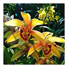 Cymbidium__CALIFORNIA DREAMIN__COLORFUL yellow red flowers orchid very hardy EZ