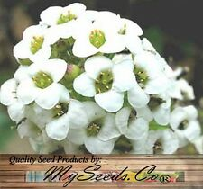 ALYSSUM SWEET ALICE Flower Seeds - Lobularia maritima - Packet or  BIG PACK Size
